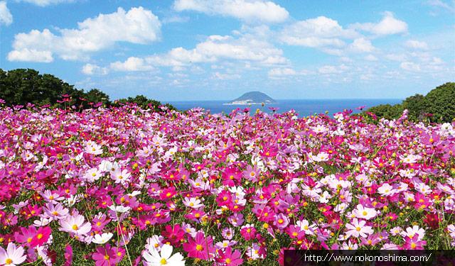 能古島で「コスモスライトアップ」始まる