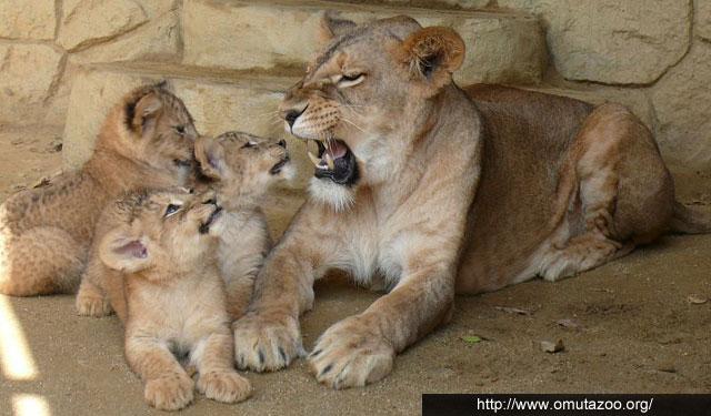 大牟田市動物園が子どもライオンの展示再開