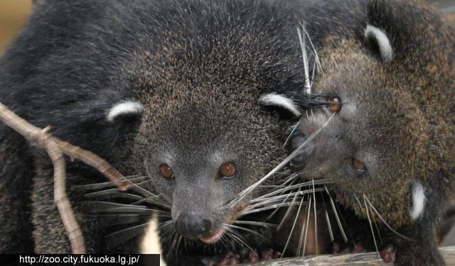 福岡市動物園がビントロングのお別れガイドを開催