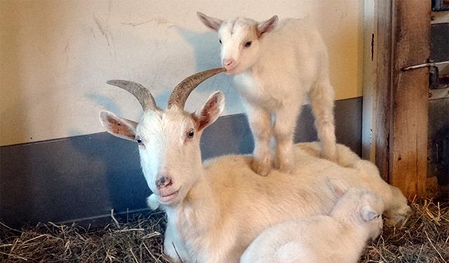 福岡市動物園「ヤギの赤ちゃんがうまれました」