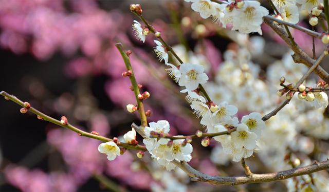 太宰府天満宮の「飛梅」が1輪開花