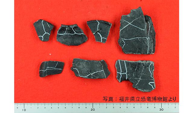 宮若市から出た「カメ甲羅の化石」は新種と断定2