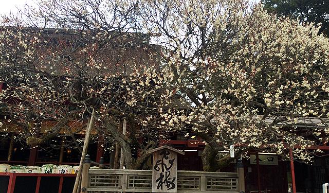 太宰府天満宮の神木「飛梅」5分咲き