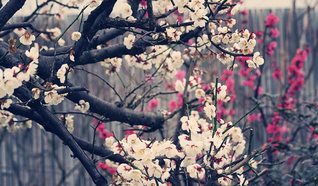 JR博多シティ屋上「つばめの杜広場」の梅が見頃