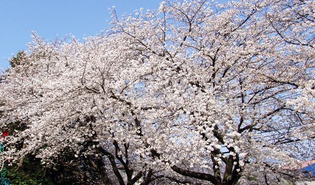 桜(ソメイヨシノ)開花 全国1位は鹿児島