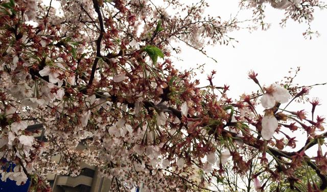 お花見だ!宴だ!と思いきや「強風」「雷雨」桜が散る