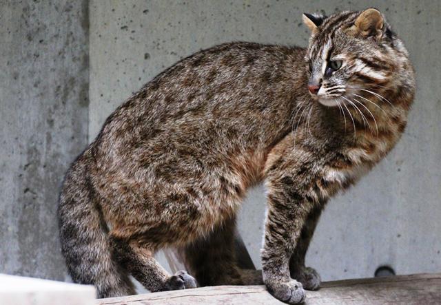 福岡市動物園「ツシマヤマネコ」5月に展示再開