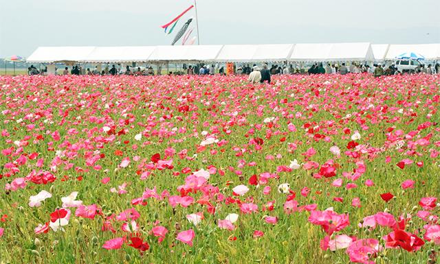 100万本のポピーが咲き誇る「味坂ポピーまつり」