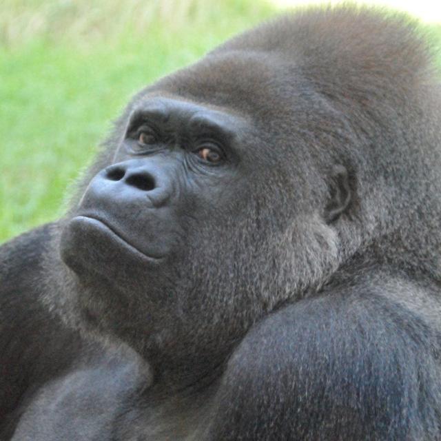 福岡市動物園に新たなゴリラ「ヤマト」受け入れへ