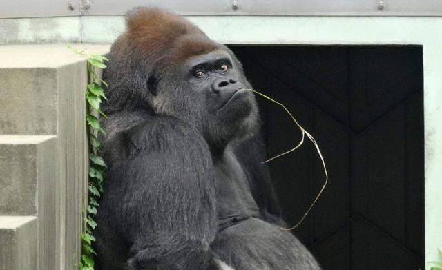 福岡市動物園にやって来たゴリラ「ヤマト」が死亡