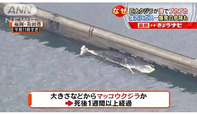 苅田港に巨大なクジラ、死後一週間以上で爆発の危険も