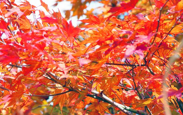 田川郡川崎町安眞木の庭園「藤江氏魚楽園」の紅葉が見頃