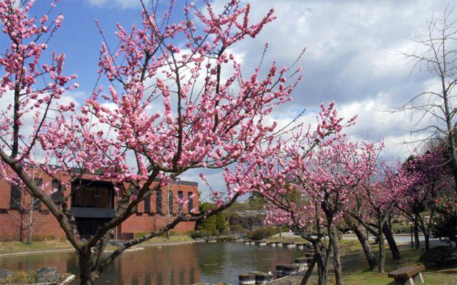 「石橋文化センター春の花まつり2020」梅まつり開催