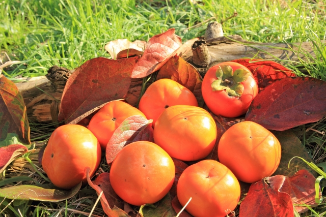 試食あり!久留米市田主丸町で11月末まで「柿狩り」できます