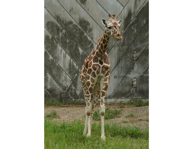 福岡市動物園にオスの「キリン」がやってくる