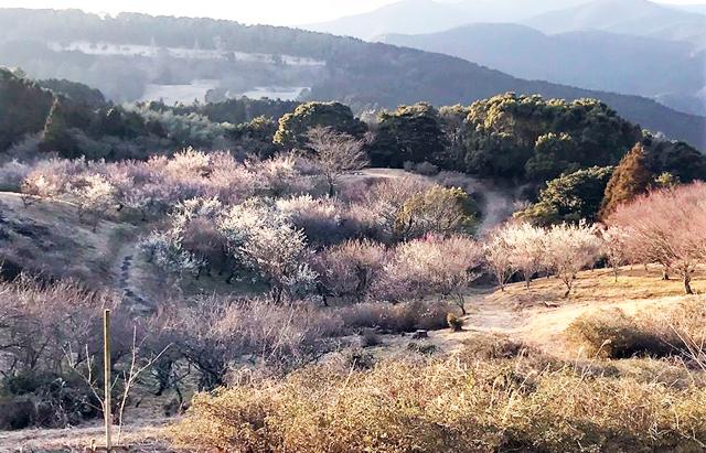 八木山花木園(飯塚市)の「梅の花」見ごろ