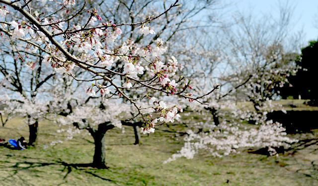 福岡管区気象台が「さくらの開花」観測発表