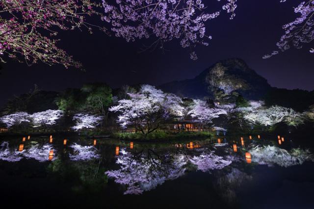 九州最大規模の桜ライトアップ 見頃は4月1日頃から
