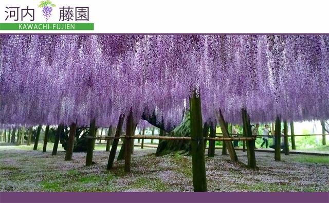 22種類の藤の花「河内藤園」4月中旬~5月中旬に開園