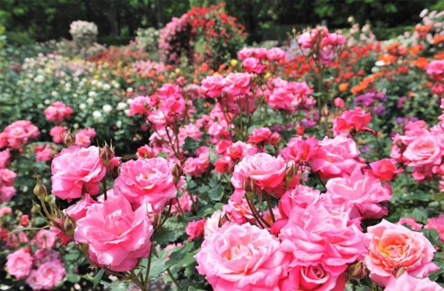 福岡市植物園「春のバラまつり~バラに秘められた物語~」