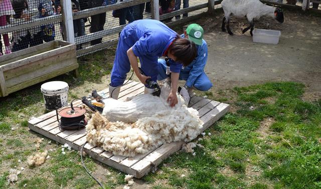 「もーもーらんど」で羊の毛刈り実演