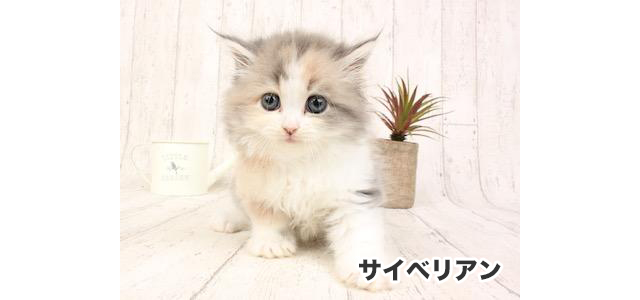 希少猫種も在舎、天神に子猫専門店「P's-first for Cats 福岡天神店」オープン