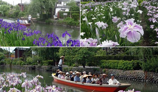 「どんこ舟」に揺られながら見る菖蒲は、風情があり別格