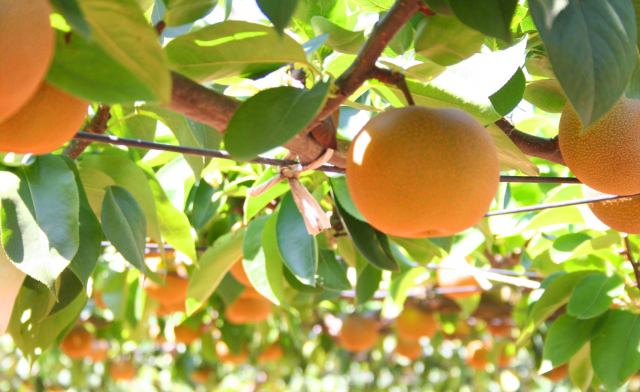 久留米市藤山町「梨狩り」かじった瞬間、口からこぼれるほど果汁がたっぷり!