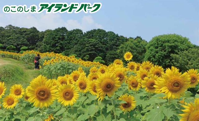 能古島アイランドパーク「ひまわり」無料摘み取り開催中