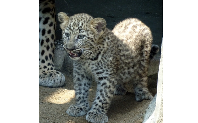 福岡市動物園で「ヒョウの赤ちゃん」公開中(時間限定)