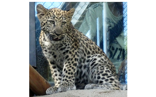 福岡市動物園 応募で決定した「ヒョウ」の子どもの名前を発表