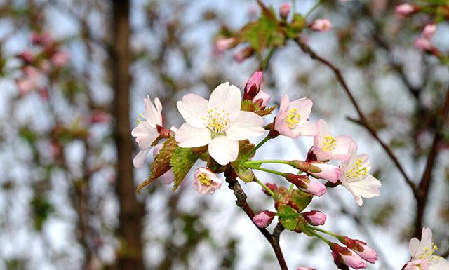 福岡管区気象台が「さくら」の開花を発表