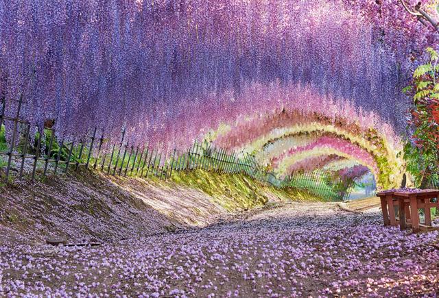 世界が認めた絶景、22種類の藤の花「河内藤園」4月18日に開園