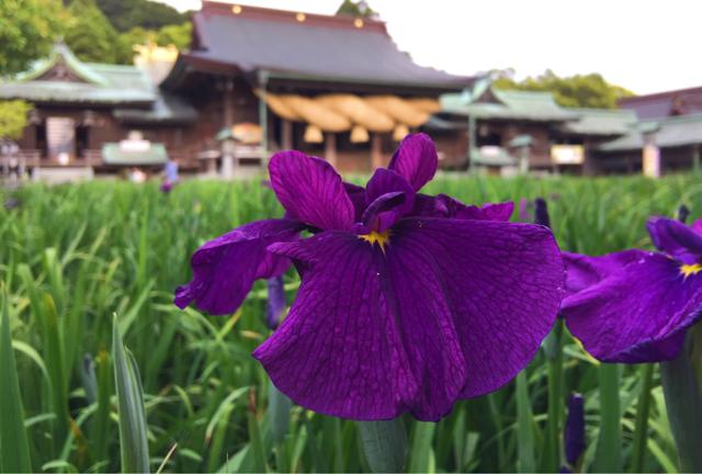 宮地嶽神社「菖蒲まつり」5月26日~6月10日開催 ライトアップあり