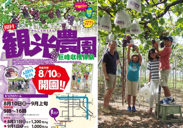 柳川観光農園「巨峰収穫体験」8月10日開園!