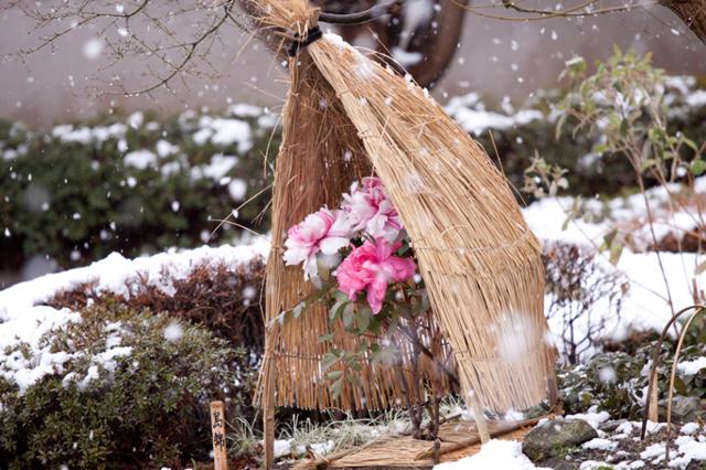 門司区の白野江植物公園で「冬牡丹」が見頃に!