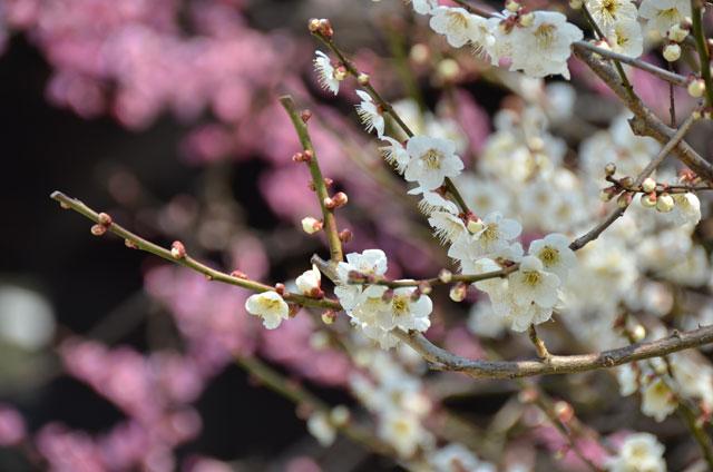 福岡管区気象台が「ソメイヨシノ」開花について発表