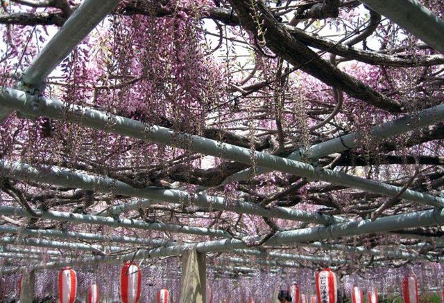 樹齢百数十年にもなる藤の巨木から開花した藤棚「浄光寺 藤まつり」