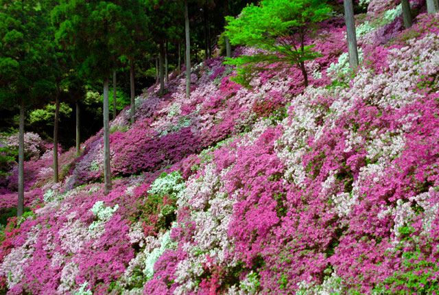ツツジが咲き誇る大興善寺で「第4回きやま門前市」開催