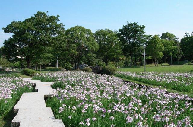 久留米市中央公園「第14回花菖蒲まつり」開催