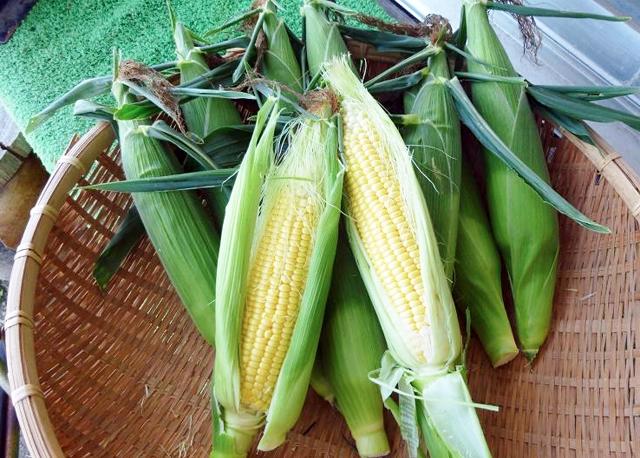 全国的にも珍しい有機栽培・無農薬「トウモロコシ狩り」ができます