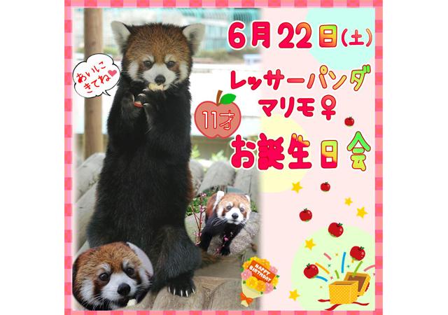 福岡市動物園のレッサーパンダ「マリモ」11歳のお誕生日会を開催