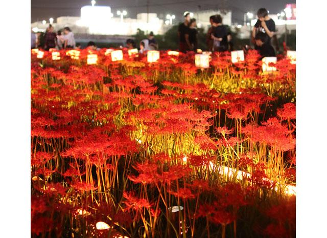 久留米市「高良川彼岸花まつり」6万株の彼岸花が幻想的にライトアップ