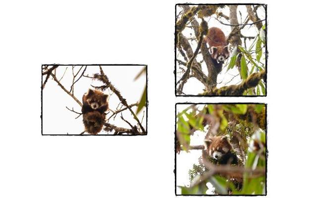 到津の森公園 レッサーパンダデー特別ガイド「野生のレッサーパンダに会いに!」