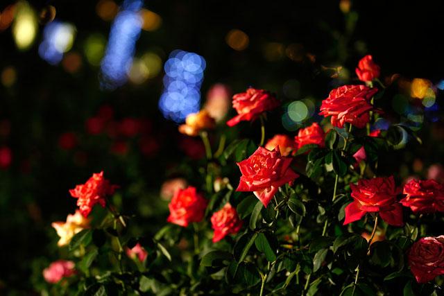 ハウステンボスで約1000品種のバラを堪能できる「秋バラ祭」開催へ