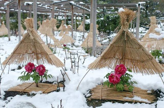 一年を通して参道花めぐりが楽しめる筥崎宮 神苑花庭園で「冬ぼたんまつり」