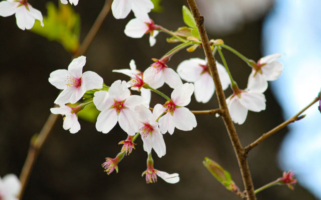 日本気象が「2021年桜の開花・満開予想(第1回)」を発表