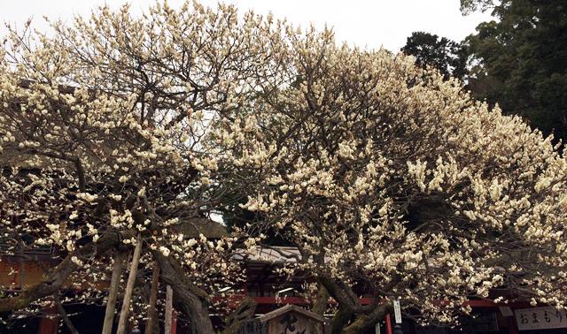 太宰府天満宮の神木「飛梅」が開花、1月末ごろに見頃