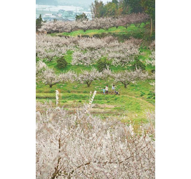 約2万本の白梅が咲き誇る。八女市の谷川梅林で「夢たちばな観梅会」開催へ