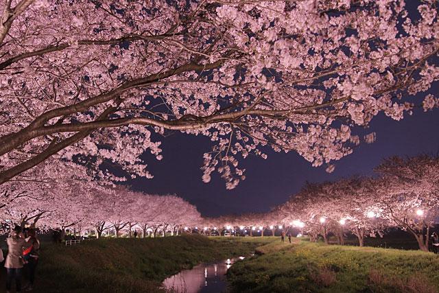 筑前町の草場川 桜並木で3月下旬ごろから桜と菜の花の競演